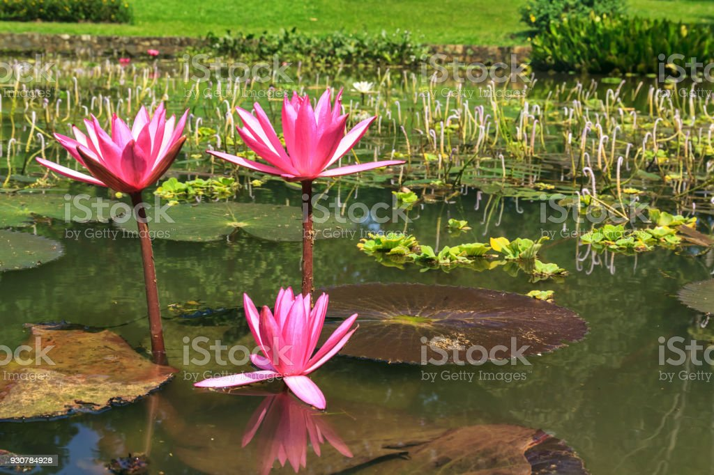 Lake with pink lotus flowers an abandoned pond with vegetation stock lake with pink lotus flowers an abandoned pond with vegetation royalty free stock photo mightylinksfo