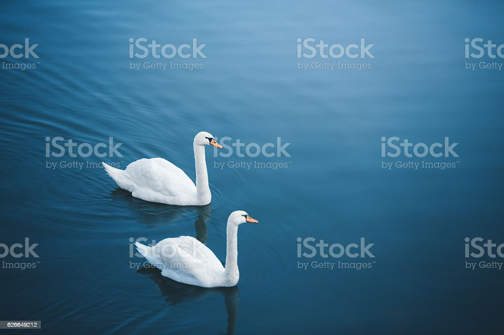 Lake With Swans stock photo