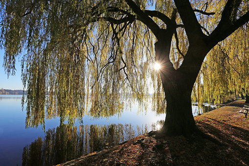 Green leaves of willow tree over the water. Selective focus. Beautiful summer nature background