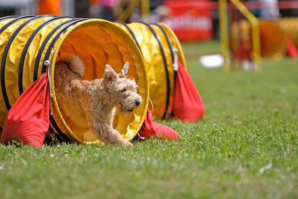 terrier du Lakeland - Photo