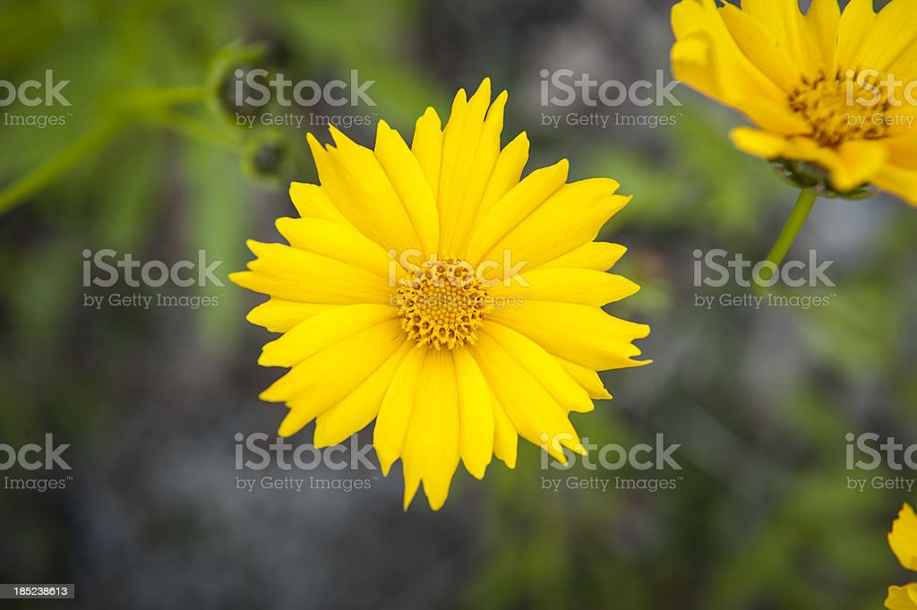 Lakeside Daisy royalty-free stock photo