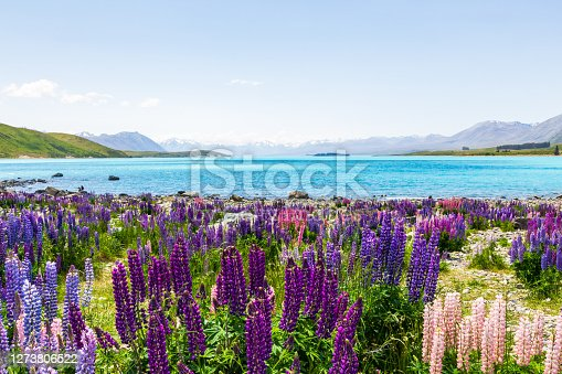 Lakeside landscapes of New Zealand. Lupine fields along the shores of Lake Tekapo, South Island