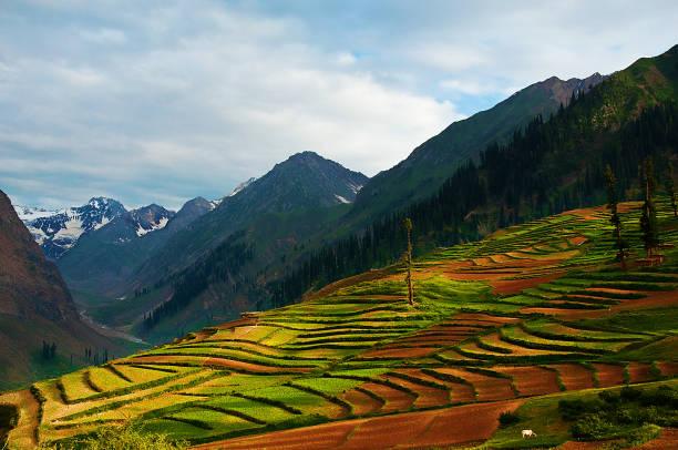 Lalazaar Rice Fields - Naraan Valley, Pakistan. stock photo