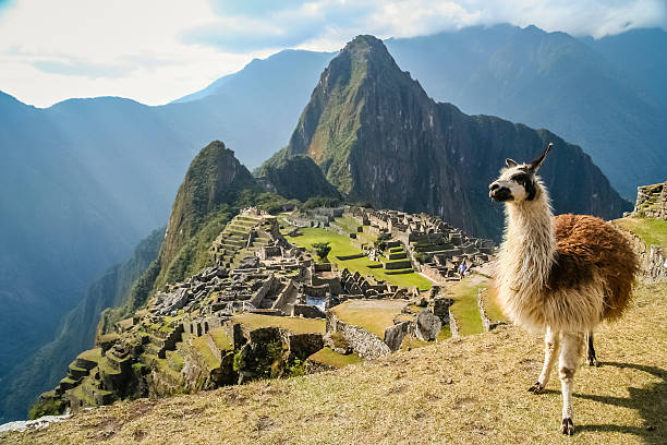 lama and machu picchu - south america travel stock photos and pictures