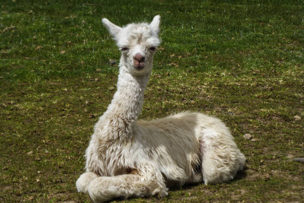 Lama Baby resting in the grass stock photo