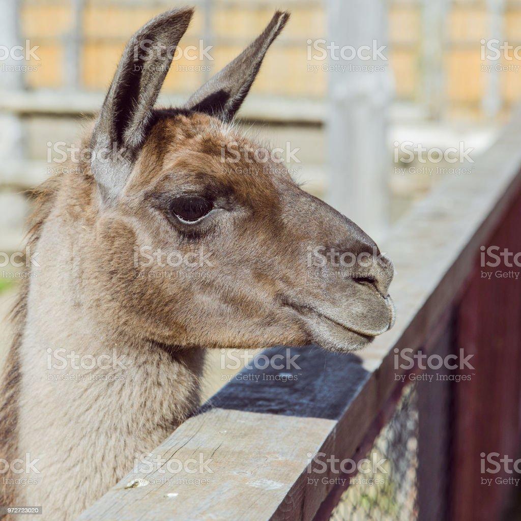 lama close up sunny day stock photo