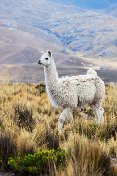 lama in a pasture in the mountains stock photo