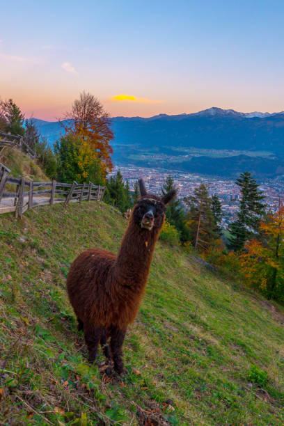 Lama frente a una puesta de sol en los Alpes en Innsbruck en el Tirol en Austria - foto de stock
