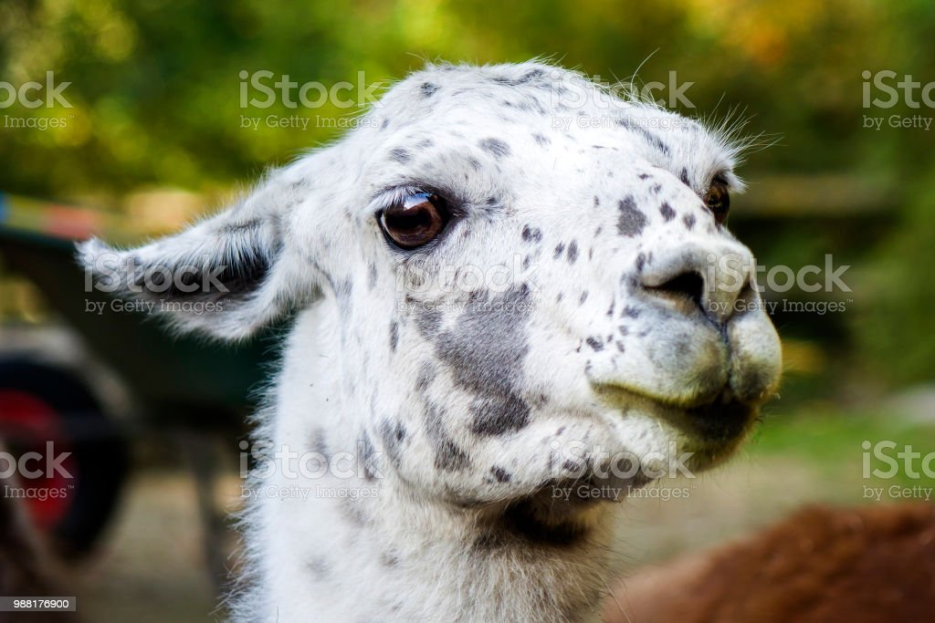 lama in white and black color stock photo