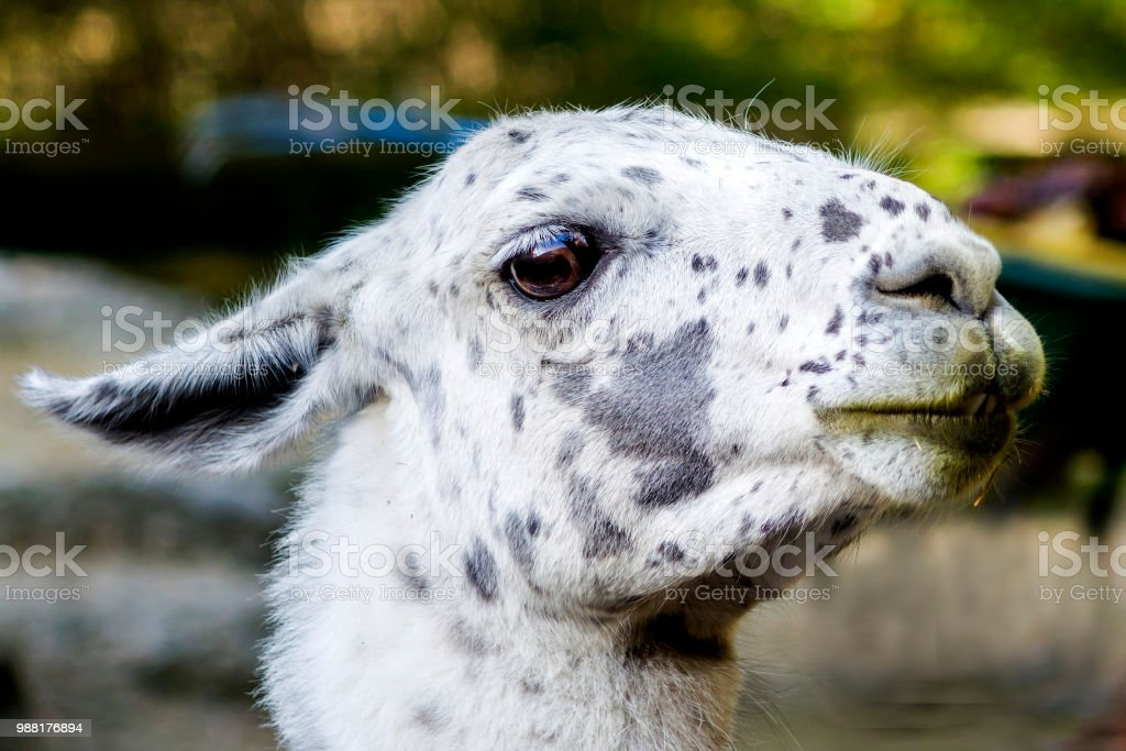lama in white and black stock photo