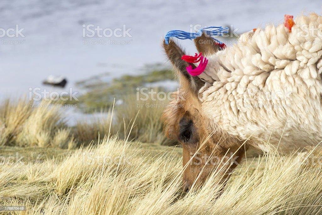 Lama on the Laguna Colorada, Bolivia stock photo