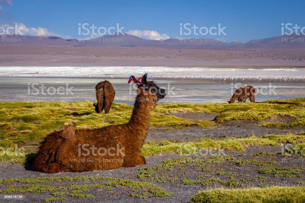 Lamas herd in Laguna colorada, sud Lipez Altiplano reserva, Bolivia stock photo
