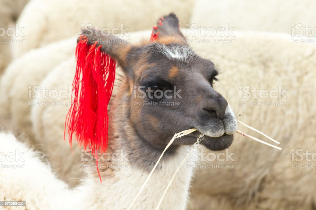 lamas in Andes,Mountains, Peru royalty-free stock photo