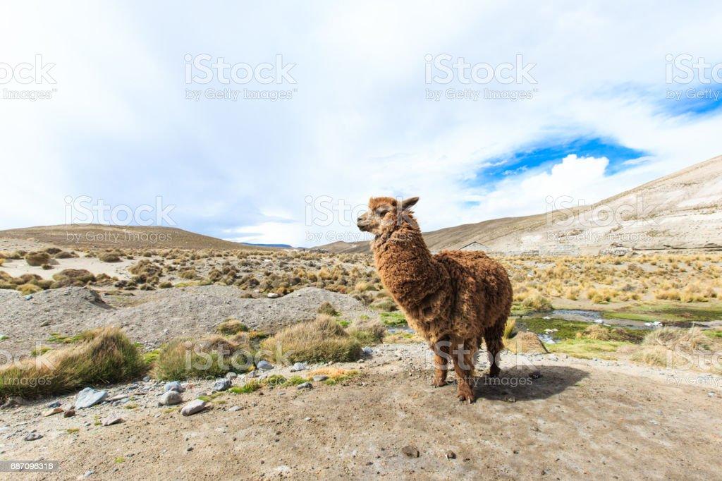 lamas in Andes,Mountains, Peru Lizenzfreies stock-foto
