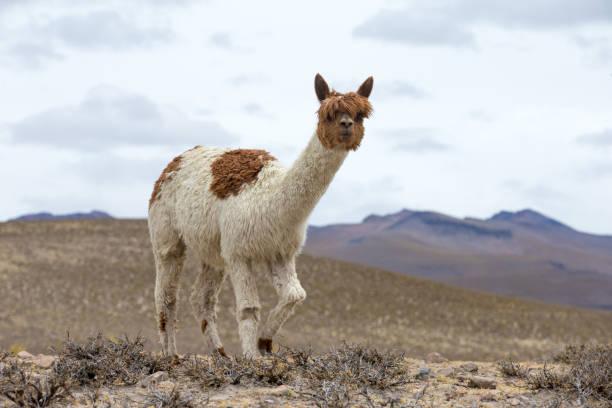 안데스 산맥, 페루 라마 스톡 사진