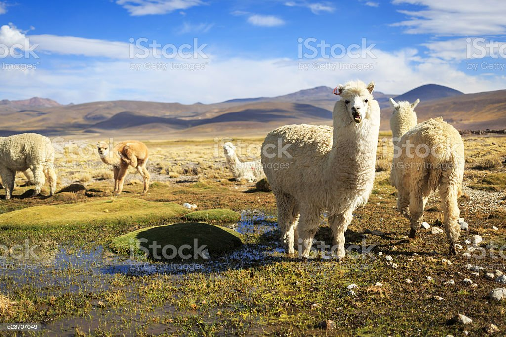 Lamas in the Andes near Arequipa and Colca Canyon stock photo