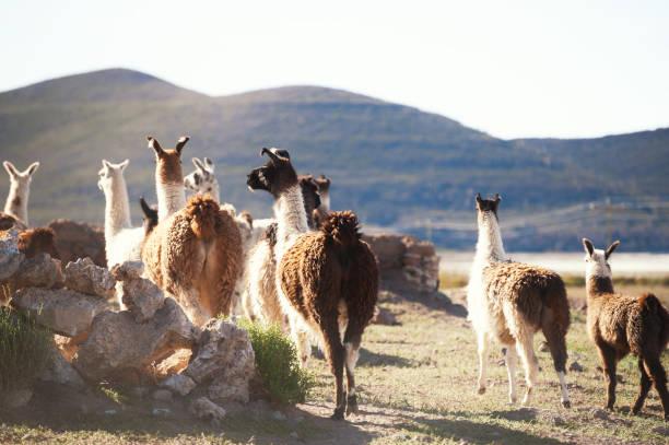 玻利維亞阿爾蒂普拉諾高原農場上的喇嘛。 - 阿爾蒂普拉諾山脈 個照片及圖片檔
