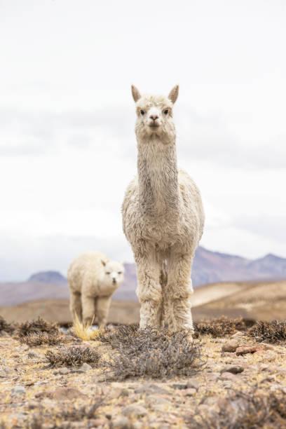 alpakas - lama kamelartige stock-fotos und bilder