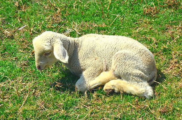 Lamb Alone stock photo