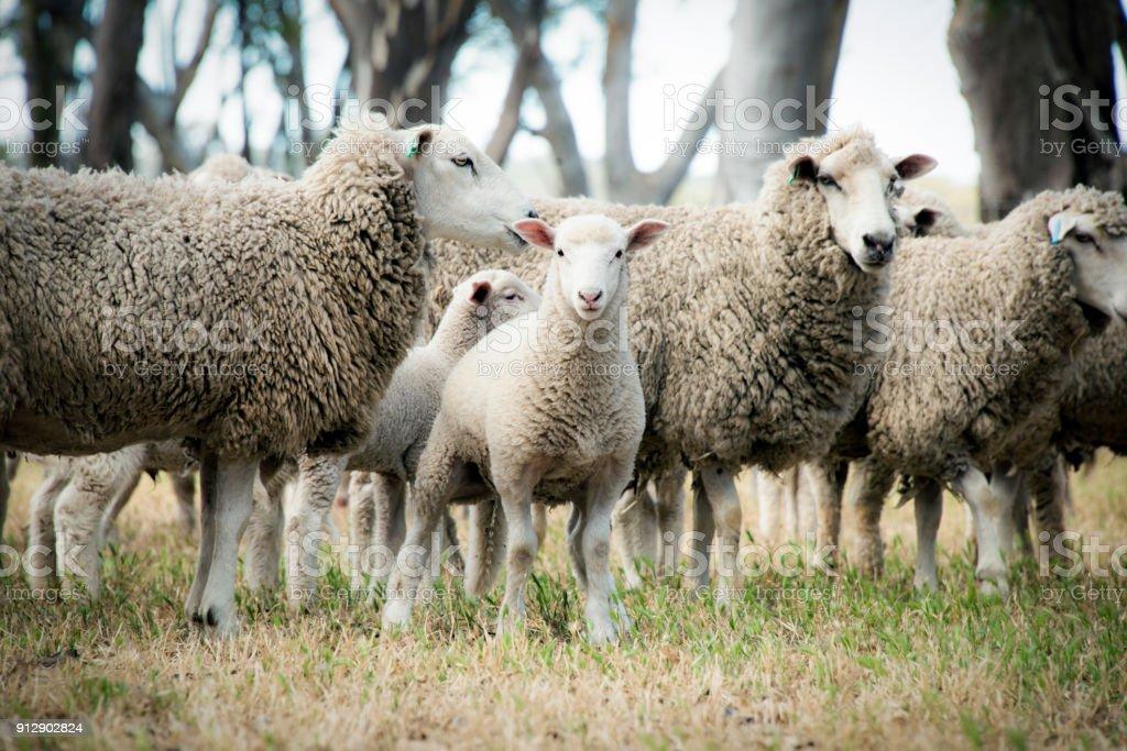 Lamb among the sheep stock photo