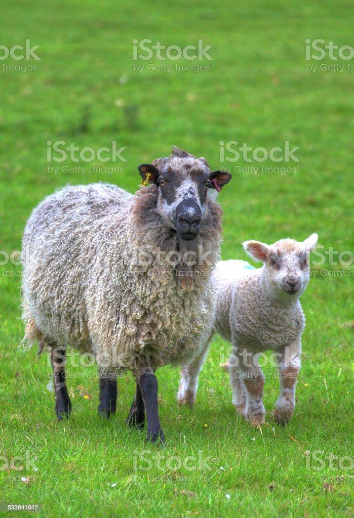 Lamb and ram. stock photo