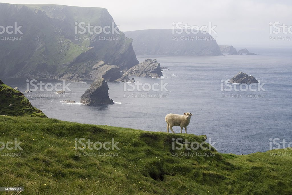 lamb at the coast of shetland stock photo