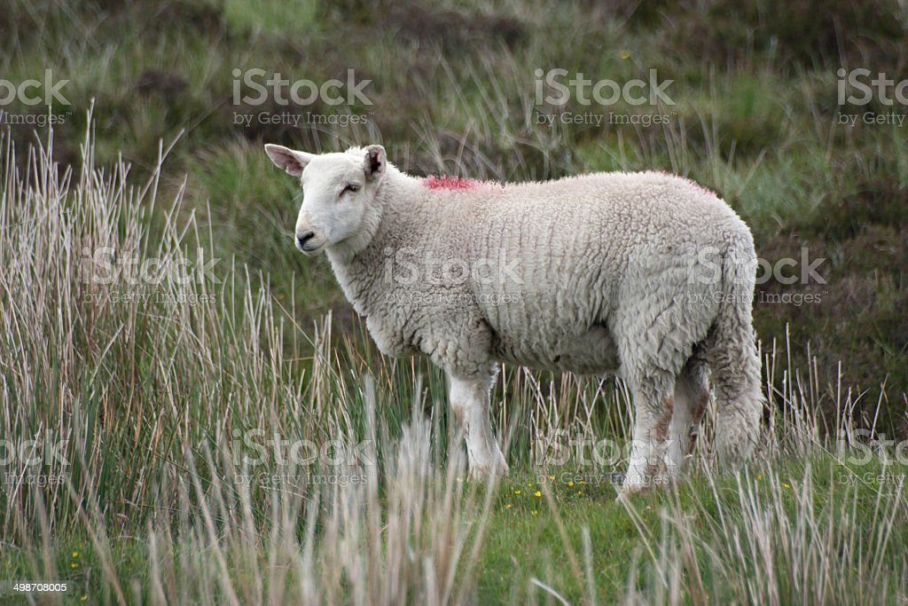 Lamb at the Sally Gap in Wicklow, Ireland stock photo