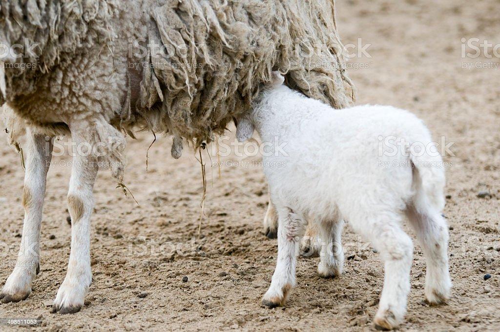 lamb at udder stock photo