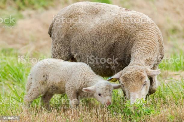 Lamb baby sheep picture id682505282?b=1&k=6&m=682505282&s=612x612&h=x77jtjd6lyooimk5fouoho2ibyapdm7zay5elhnajfy=