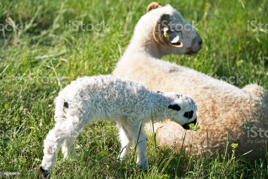 Lamb, day old, with its mother stock photo