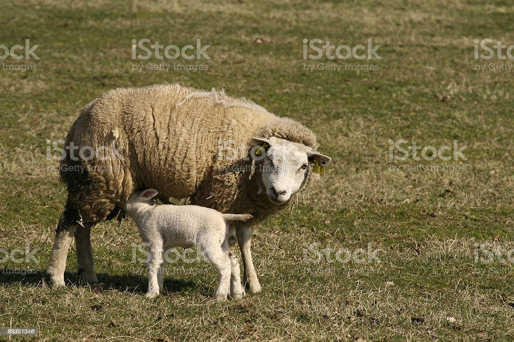 Lamb drinking milk from mother-sheep royalty-free stock photo