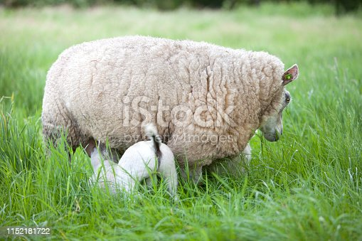 lamb drinks from mother sheep in long grass of meadow
