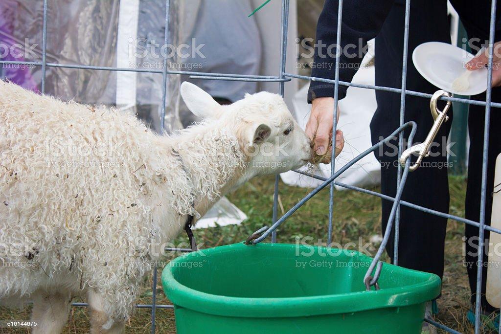 Lamb Fed Through Fence royalty-free stock photo