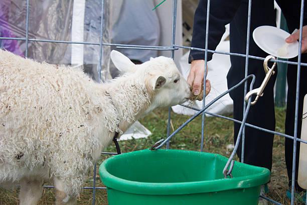 Lamb Fed Through Fence stock photo