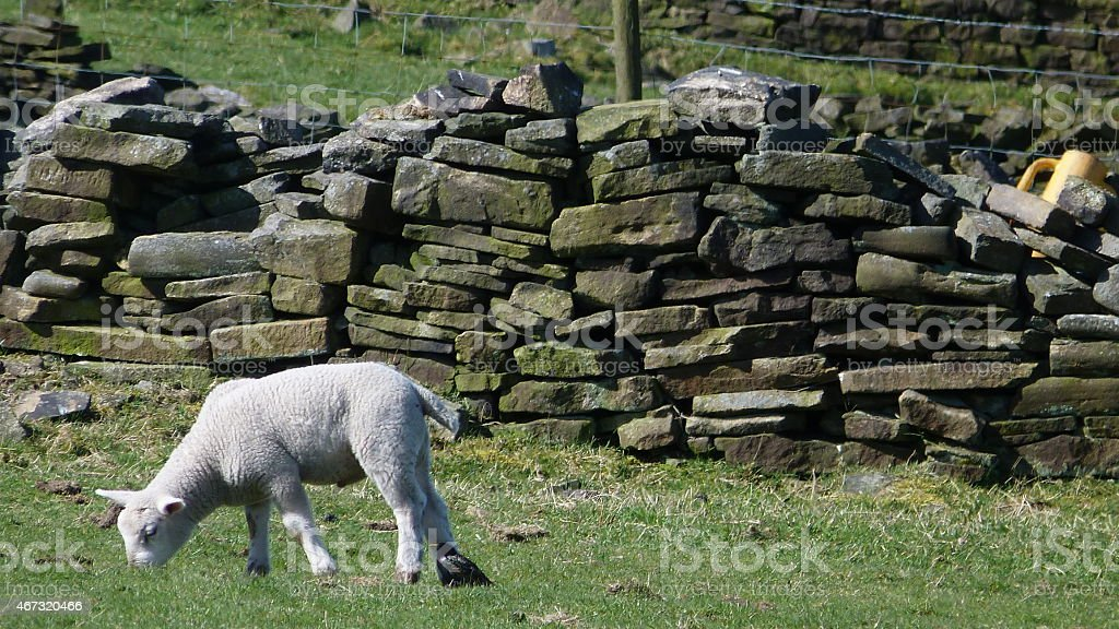 Lamb grazing in a field in Haworth stock photo