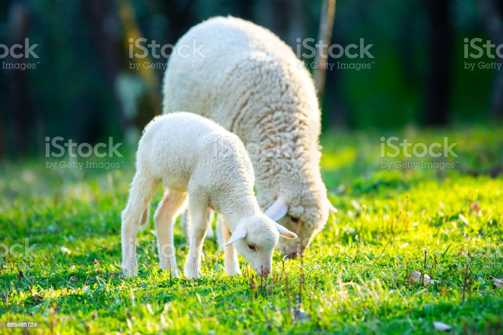Lamb grazing on green grass meadow stock photo