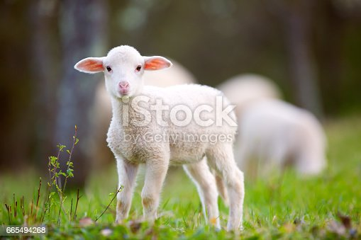 Sheep in the natural habitat