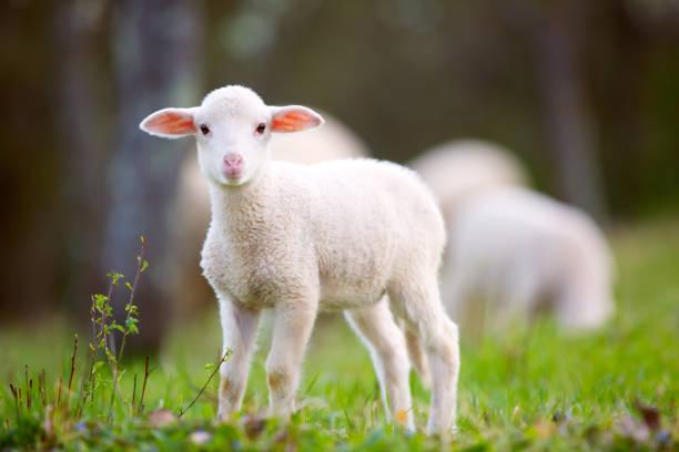 Lamb grazing on green grass meadow - Photo