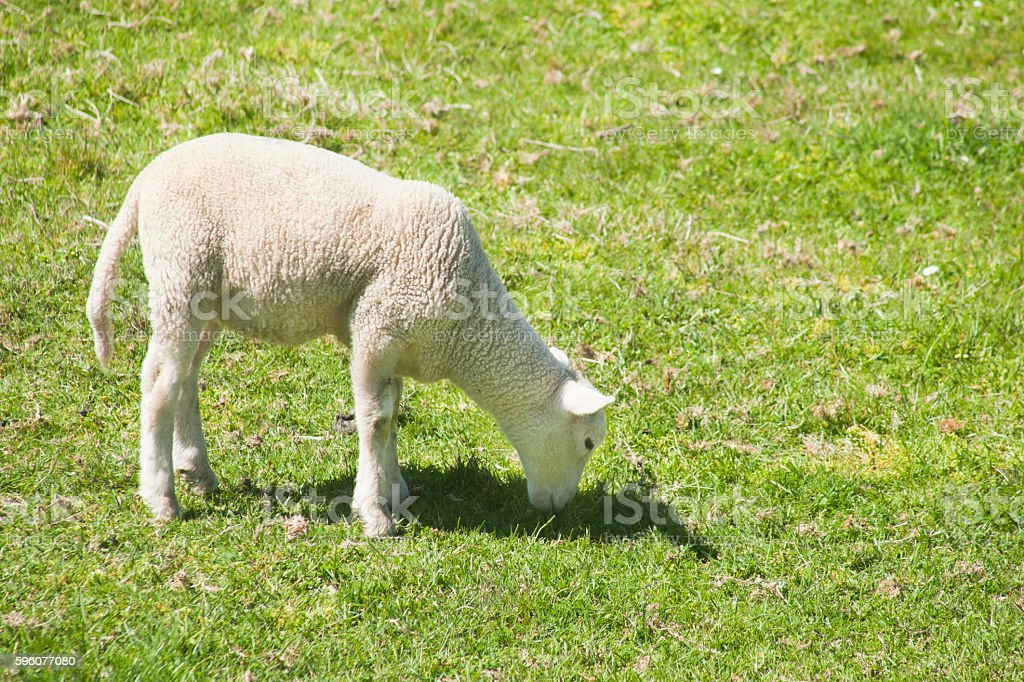 Lamb grazing on sunny green meadow. royalty-free stock photo