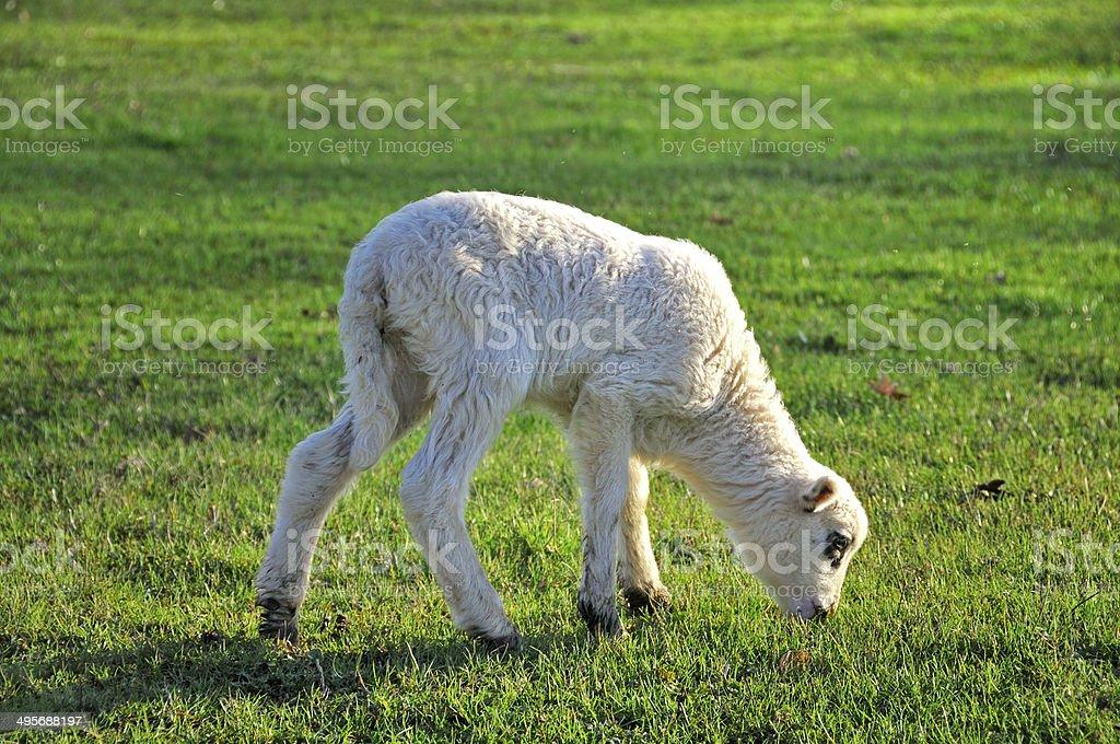 Lamb grazing stock photo