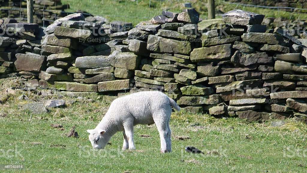 Lamb in Field, Haworth, Yorkshire stock photo