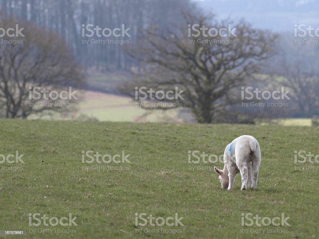 Lamb in field royalty-free stock photo