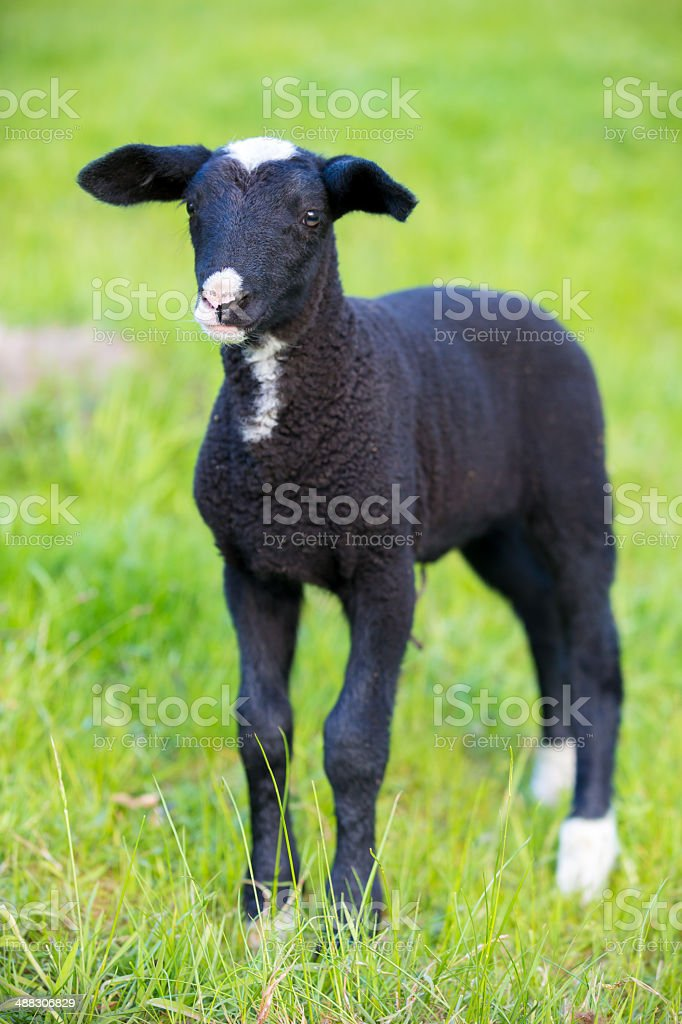 Lamb in Springtime royalty-free stock photo