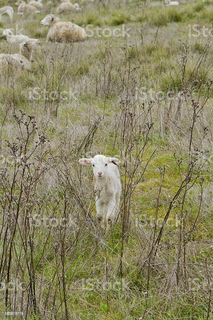 Lamb in the Sticks royalty-free stock photo