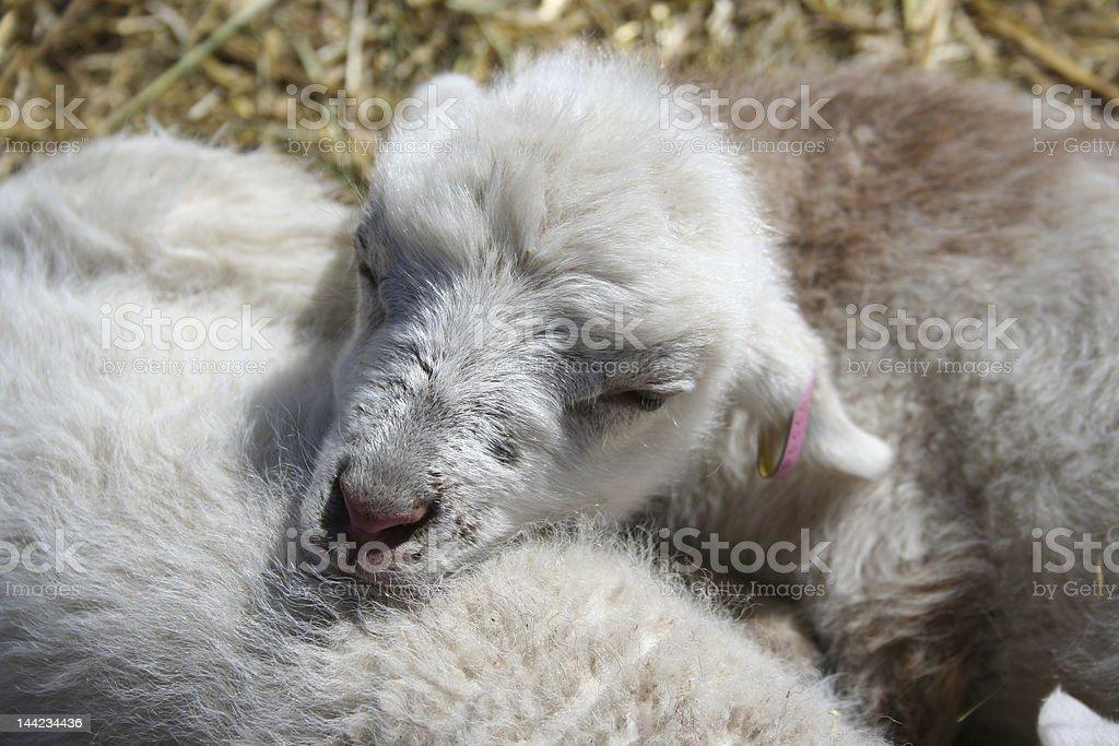 Lamb in the Sun royalty-free stock photo