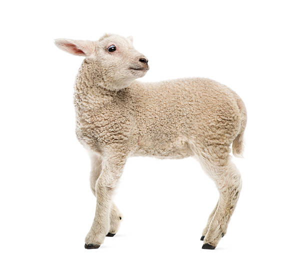 lamb (8 weeks old) isolated on white - schaap stockfoto's en -beelden
