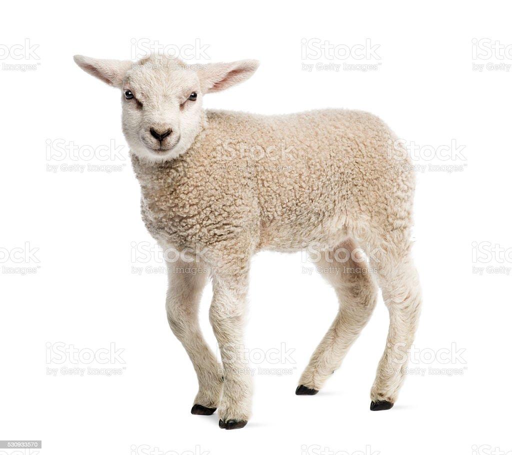 Lamb (8 weeks old) isolated on white stock photo