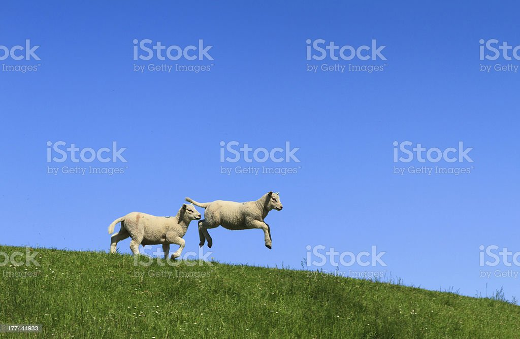 Lamb jumping stock photo