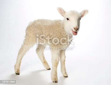 Young lamb turns to look at the camera. Against a white background the spindly legged lamb seems to be smiling at the camera. With bright black eyes, pink ears, nose and mouth, tiny black hooves and a fuzzy coat.