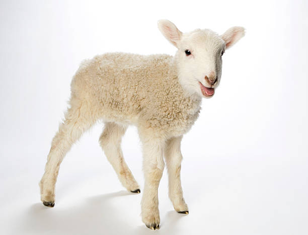 Lamb looking at the camera on a white background Young lamb turns to look at the camera. Against a white background the spindly legged lamb seems to be smiling at the camera. With bright black eyes, pink ears, nose and mouth, tiny black hooves and a fuzzy coat. lamb animal stock pictures, royalty-free photos & images